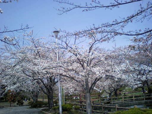 新聞折込広告チラシ 青森の桜